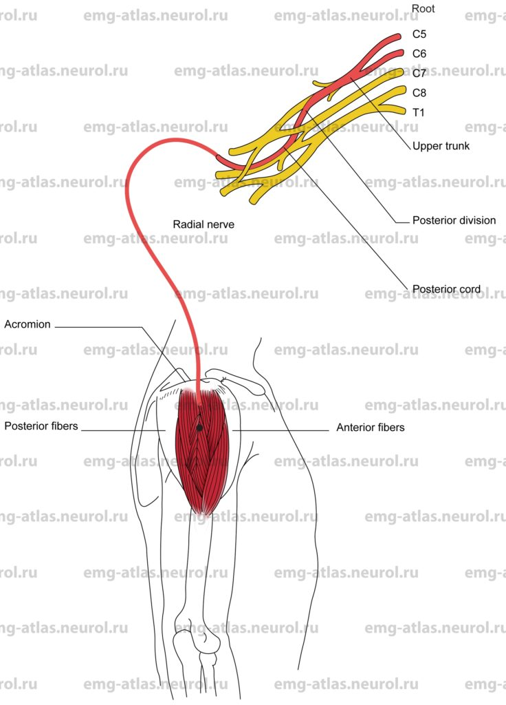 Deltoid, Middle Fibers